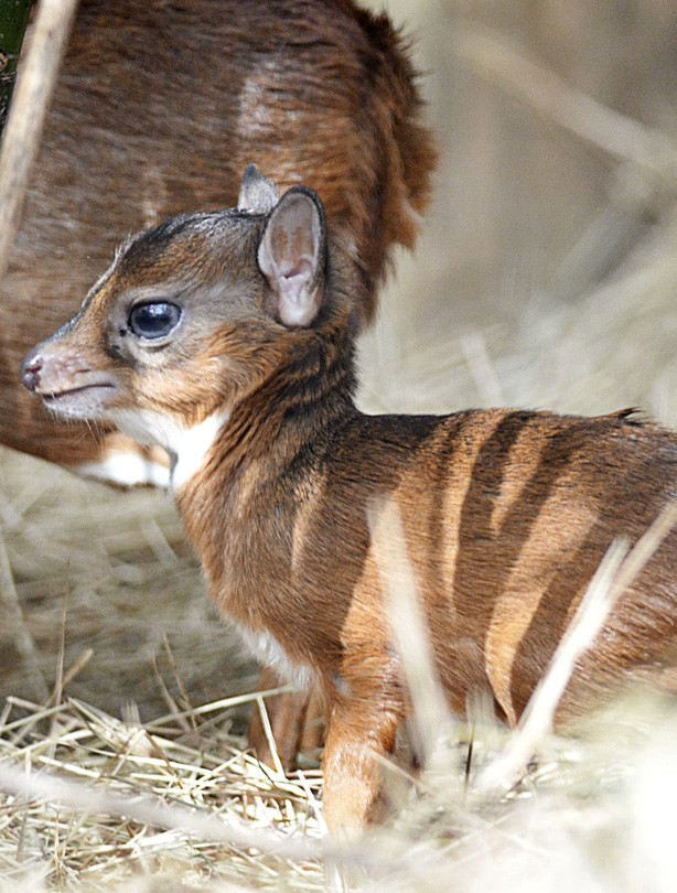 World's smallest antelope
