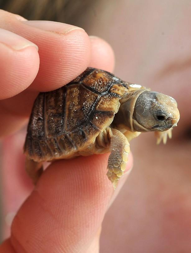 Tiny tortoise