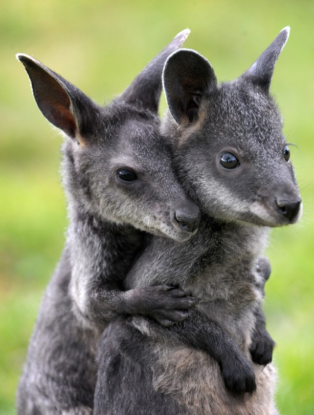 Cute Animal Pictures Wallabies Goodtoknow