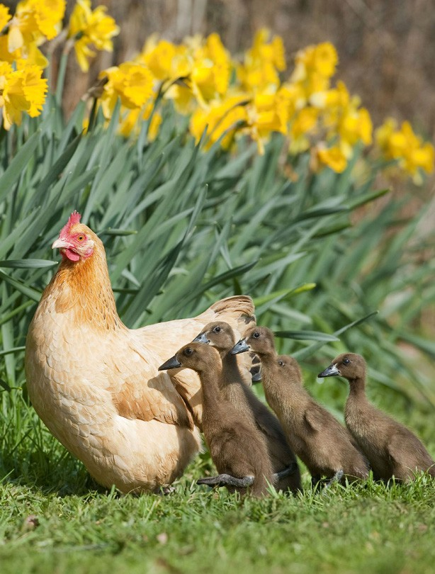 Hen and ducklings