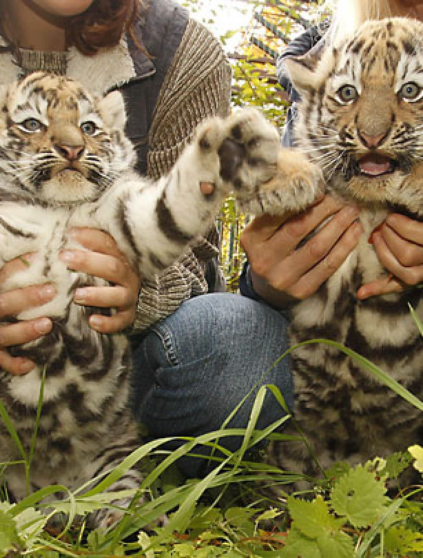 Tiger cubs in Germany