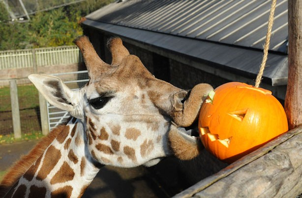 Giraffe enjoys a pumpkin treat