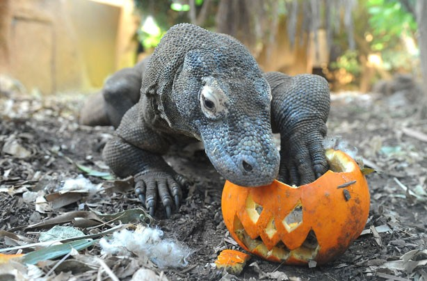 Komodo Dragon enjoys a pumpkin treat
