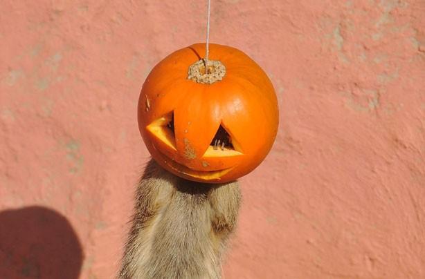 Meerkats playing with hanging pumpkin
