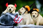 Guide Dog puppies wear Halloween costume
