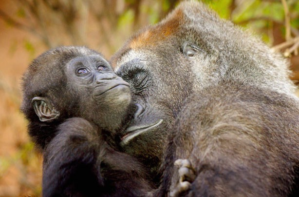 Mum and Baby Gorilla