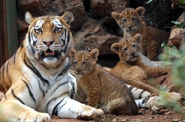 Mum and Liger Cubs