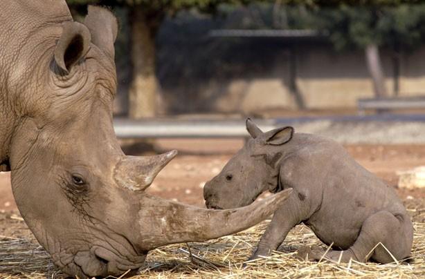 Mum and Baby Rhino