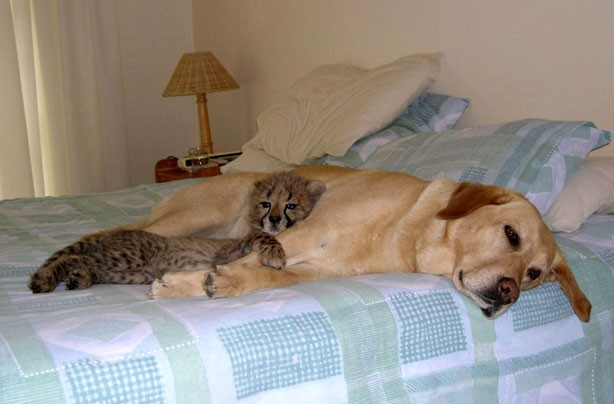 Dog and baby cheetah