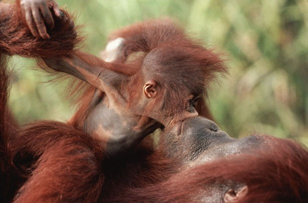 Mum and baby Orangutan