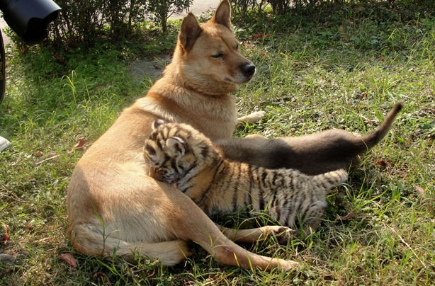 Dog and Tiger cub