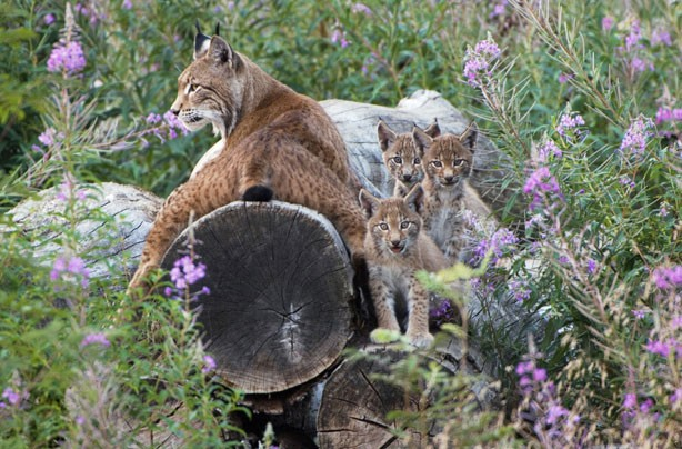 Lynx and her cubs