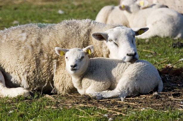 Mum and baby lamb