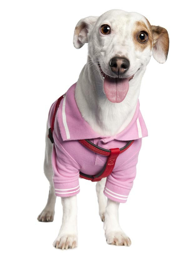 Dog: Jack Russell