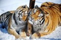 Siberian tigers