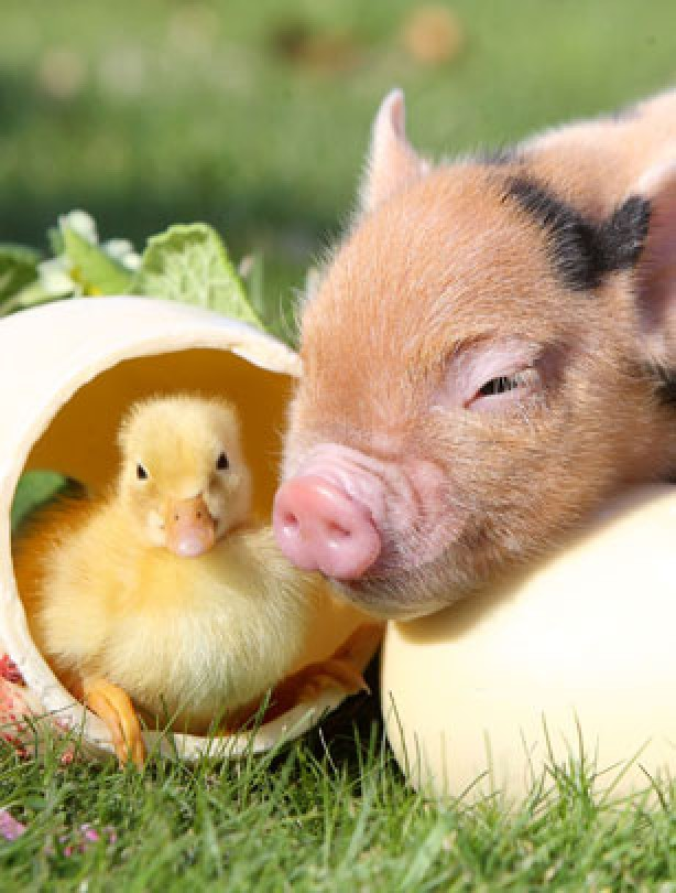 Duckling and piglet
