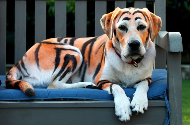 Tiger dog