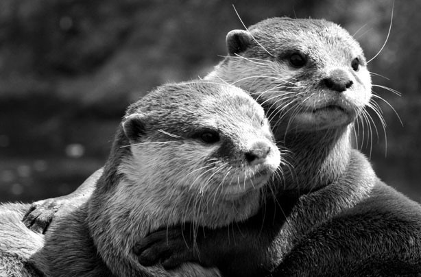 Hugging otters