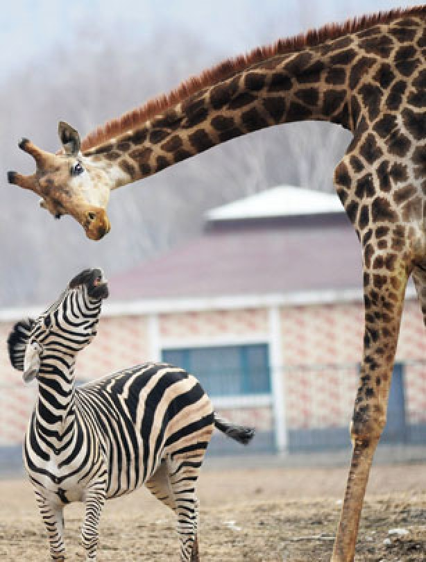 Giraffe and zebra friends 2
