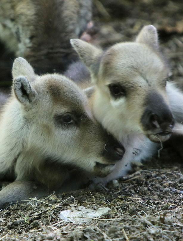 Baby reindeers 2