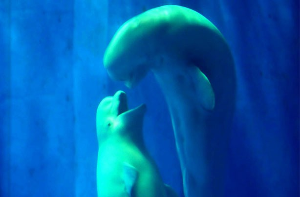 Beluga whales kiss