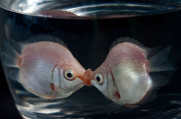 Fish kissing