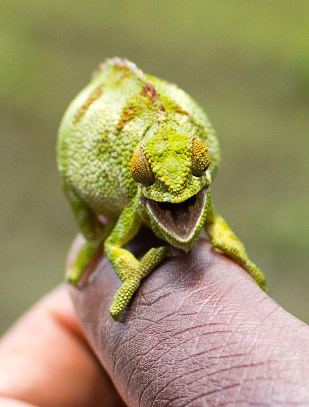 Chameleon, smiling animals