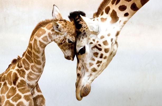 Baby giraffe pic