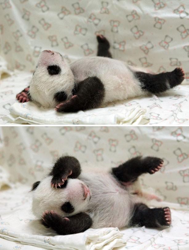 Baby panda sleeping