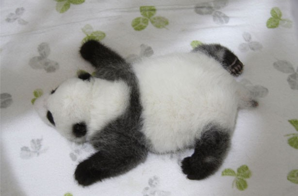 Seriously sleepy panda