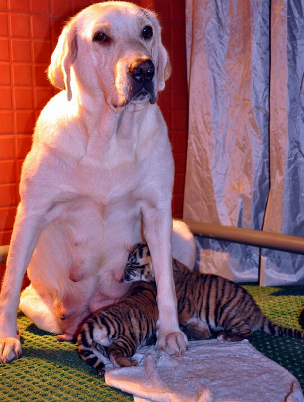 Dog and tiger pups