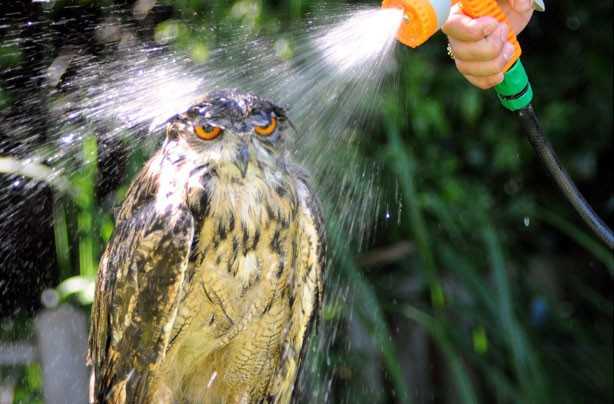 Owl having a shower