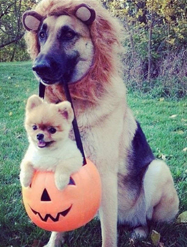 Cute and funny halloween animal pics lion and puppy dress up time goodtoknow