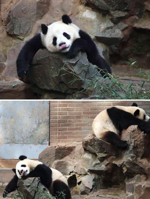 Sleepy panda picture