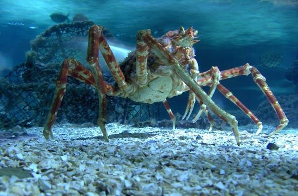 A Japanese Spider Crab at the London Aquarium