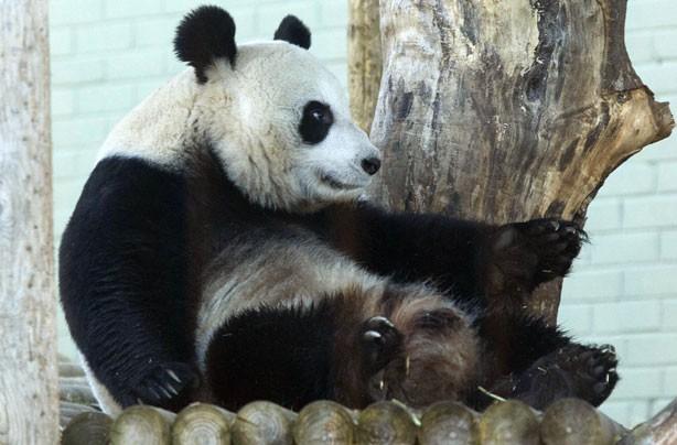 Panda pregnancy!