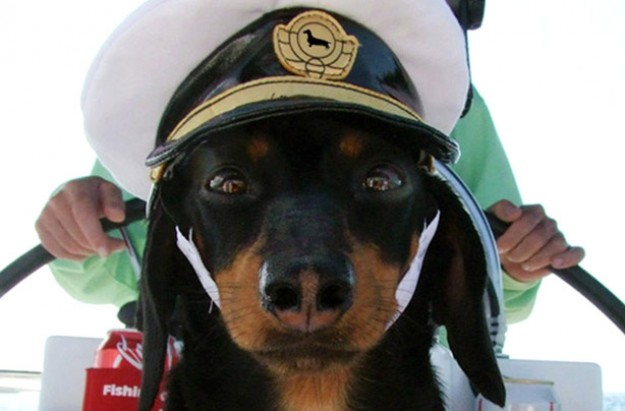 Dachshund wearing sailor's hat