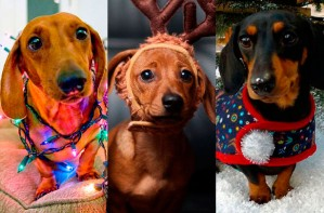 Sausage dogs dressed for Christmas